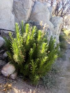 The infamous poodle dog bush