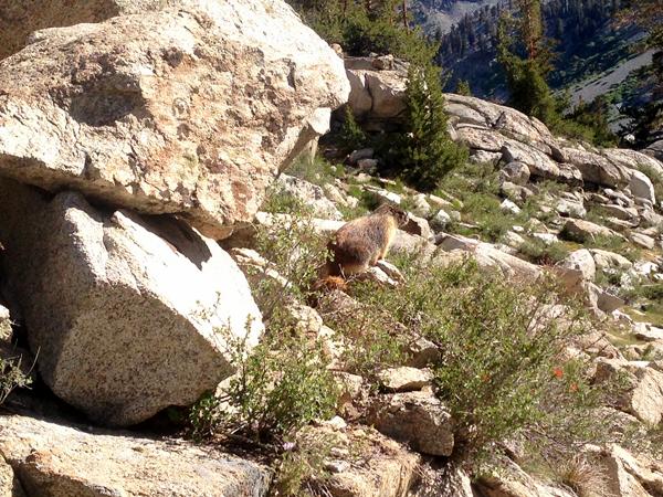 Marmot as trail guardian
