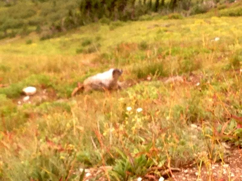 Super marmot